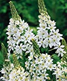 10 ORNITHOGALUM MAGNUM-Giant Starflower bulb-Spikes petaled, bell-shaped flowers