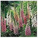 David's Garden Seeds Flower Foxglove Excelsior Mix SV1012 (Multi) 500 Open Pollinated Seeds