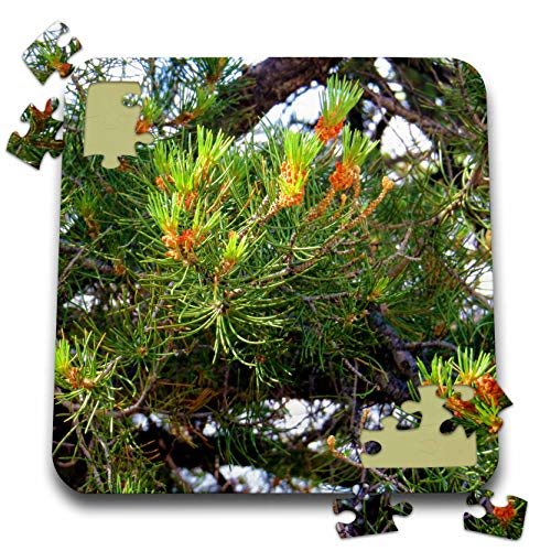 3dRose Jos Fauxtographee- Budding Pine - Pine Cones just Budding Out on a Pine Tree on Green - 10x10 Inch Puzzle (pzl_291355_2)