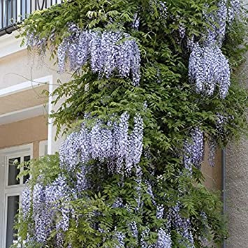 Tom Garten Kletterpflanzen Blauregen 1 Pflanze Ca 30 40 Cm