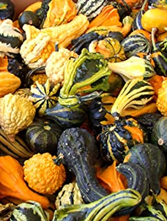 Franchi Seeds Ornamental Squash Zucchetta Small Indy Mix seeds
