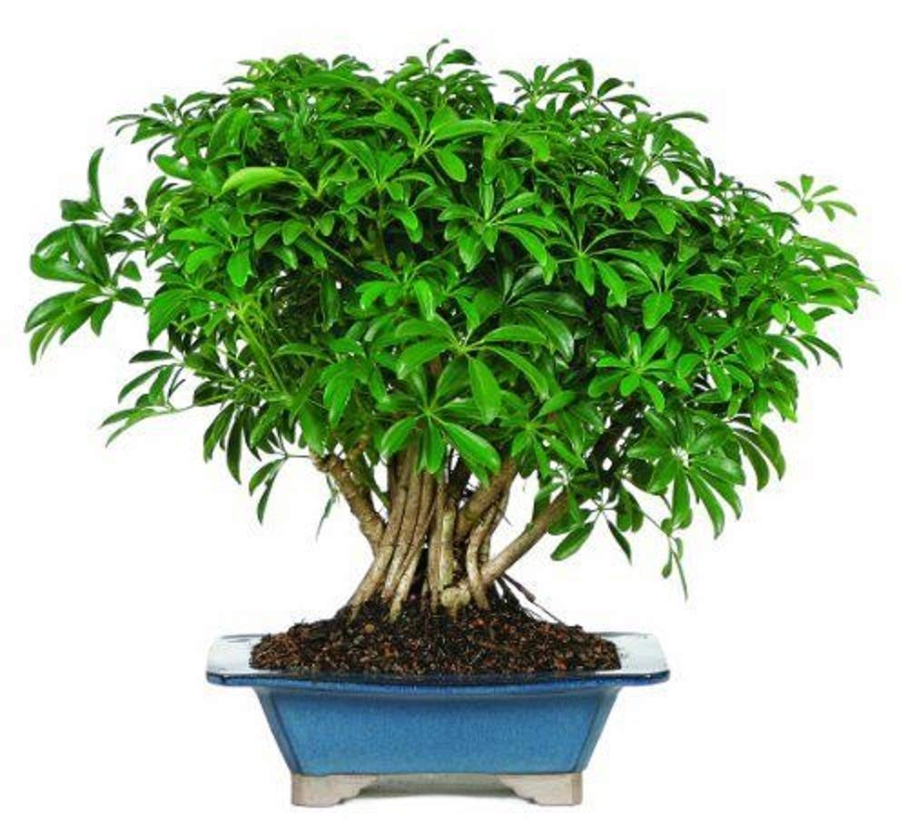 Hawaiian Umbrella Tree Bonsai Dwarf Live Plant Tropical 8 Years Indoor Best Gift Plant A6 by owzoneplant (Image #4)