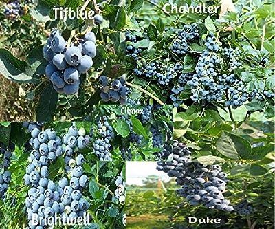 Blueberry Mix 750 Seeds