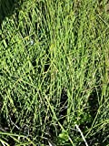 10 Horsetail Rushes Live Rooted Plants