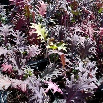 50 Seeds Red Russian Kale Seeds Non-gmo, Heirloom : Garden & Outdoor