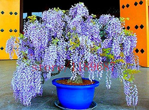 10 pcs Wisteria Seeds Blue Japanese Wisteria Fresh viable Tree Plants Amazing Climber