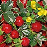 Solution Seeds Farm Rare India Mock Strawberry Bonsai Seeds, Original Pack, 60 seeds, wild strawberry seeds medical herb plants (SEEDS) Not Plants