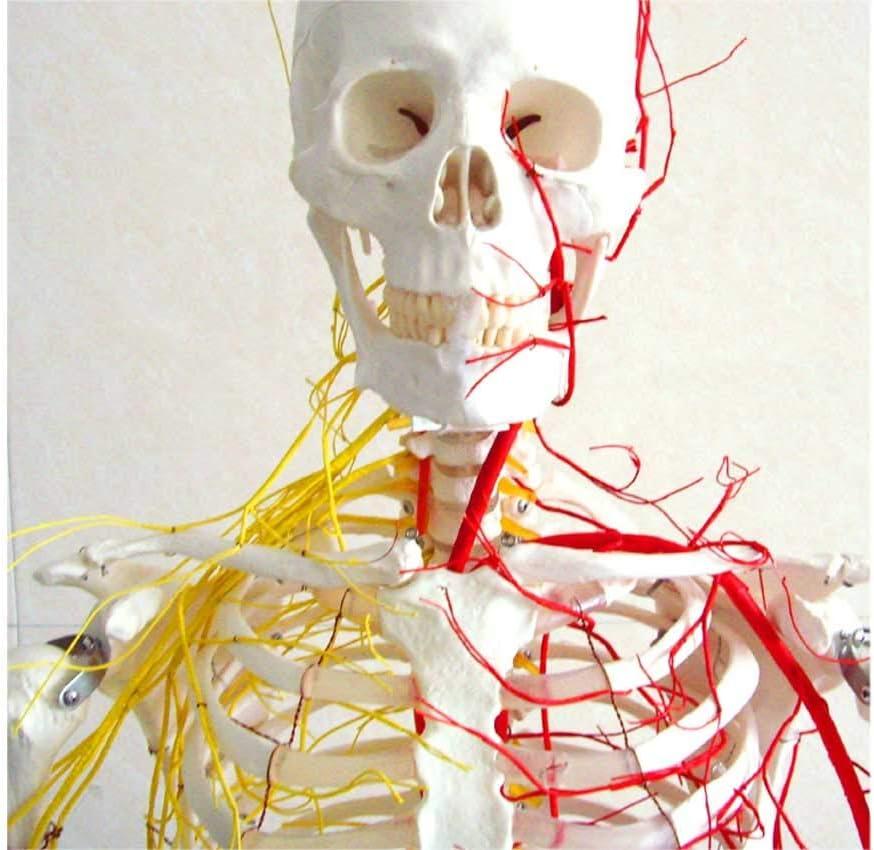 MKULOUS Esqueleto anatomico Humano,Nervio y Vaso sanguineo Modelo, para la ensenanza Medica Modelo