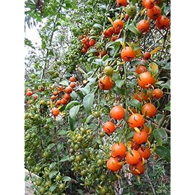 """EXOTIC FRUIT CACTI Pereskia aculeata gold cactus plant vine climber 4"""" pot G : Garden & Outdoor"""