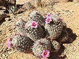 LAMINATED POSTER Spike Pink Cactus Cacti Thorns Flower Pincushion Poster Print 24 x 36