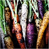 Package of 800 Seeds, Rainbow Carrots (Daucus carota) Non-GMO Seeds By Seed Needs