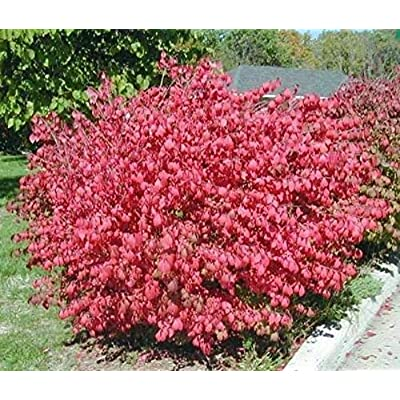 10 Dwarf Burning Bush Shrub SEEDLINGS 6-10 INCH Fall Color Bushes SHRUBS : Garden & Outdoor