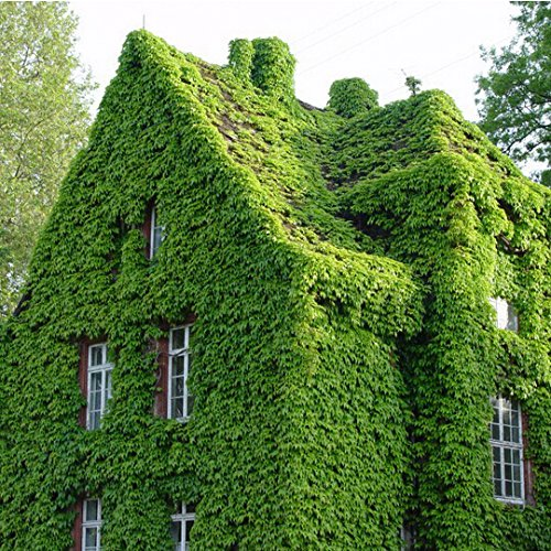 100 Seeds / Pack Green Boston Ivy Seeds Ivy Seed for DIY Home & Garden Outdoor Plants Seeds