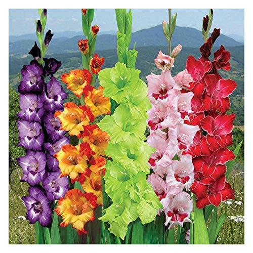 Gladiolus Mix - Gladiolus ★ Carnival Mix ★ Sword Lily ★ Gladioli ★ Suberb Cut Flowers ★ 5 Bulbs