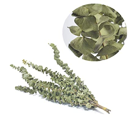 Amazon Com Dry Eucalyptus Preserved Nature Eucalyptus Branches