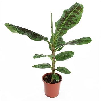 Bananier: En Pot H.90cm: Amazon.fr: Jardin