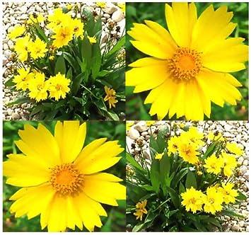 amazon com lance leaf coreopsis seed coreopsis lanceolata flower
