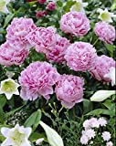 Bloomsz Sarah Bernhardt Peony Roots Super Saver Plant (2 Pack)