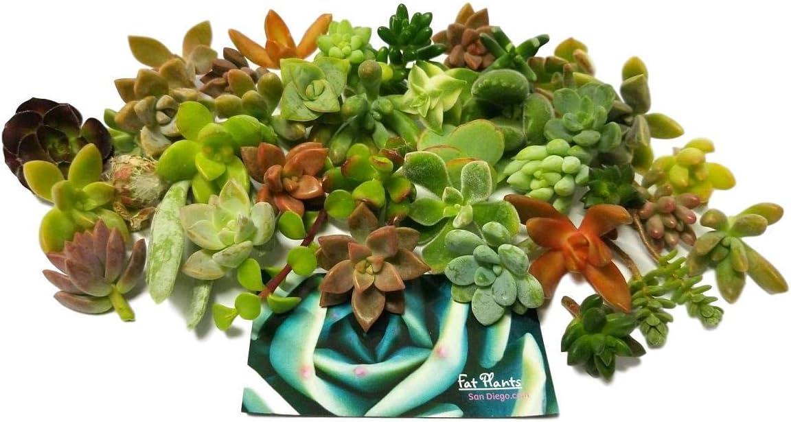 Fat Plants San Diego Miniature Fairy Garden Succulent Cuttings (25)