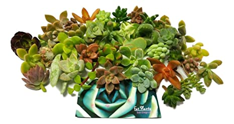 Fat Plants San Diego Miniature Fairy Garden Succulent Cuttings