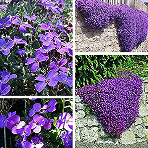 200pcs Aubrieta Seeds,Purple Flower Aubrieta Hybrida Seeds Garden Perennial Ground Cover Plant