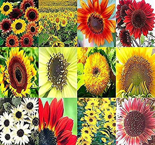 BIG PACK - SUNFLOWER Sunny Sun Flower CRAZY MIX (1,000+) flower Seeds - Non-GMO Seeds By MySeeds.Co