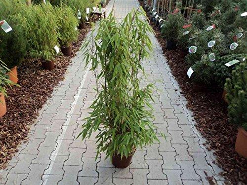 Aufrechter Garten Bambus Fargesia Murieliae Jumbo