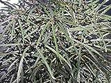 Schefflera (Dizygotheca) elegantissima FALSE ARALIA Seeds!