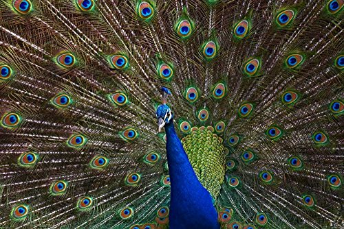 Posterazzi Poster Print Collection Indian Peafowl Male with