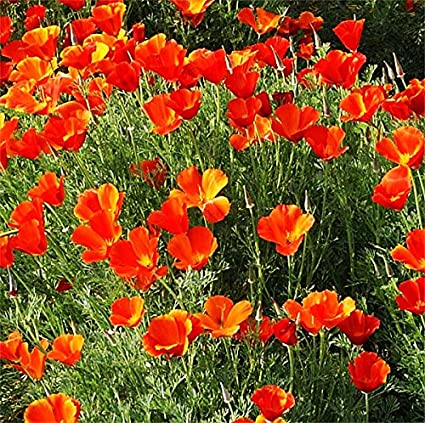 Amazon mikado poppy seeds approximately 2 000 seeds mikado poppy seeds approximately 2000 seeds california state flower red variation reseeds mightylinksfo
