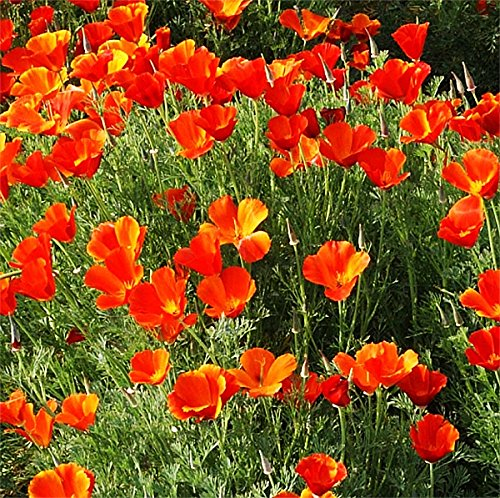 Mikado Poppy Seeds - Approximately 5,000 Seeds - California State Flower Red Variation - Reseeds