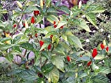 25 HAWAIIAN RED KONA Seed - Capsicum frutescens,Extremely Hot Heirloom Pepper