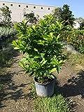 Brunfelsia grandiflora, Yesterday Today Tomorrow - 3 Gallon Live Plant