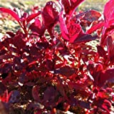 Red Garnett Amaranth Seeds by Stonysoil Seed Company..GROW AS MICROGREEN,SPROUT OR MATURE PLANT FOR GRAIN