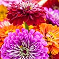 250 Zinnia Seeds - Giant California Mix - Heirloom Flower
