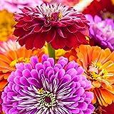250 Zinnia Seeds - Giant California Mix - Heirloom Flower