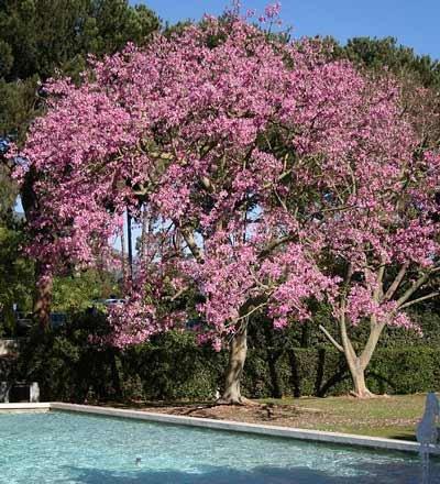 Amazon pink dogwood trees garden outdoor mightylinksfo