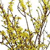 Farm Fresh Natural Forsythia - Pack 40
