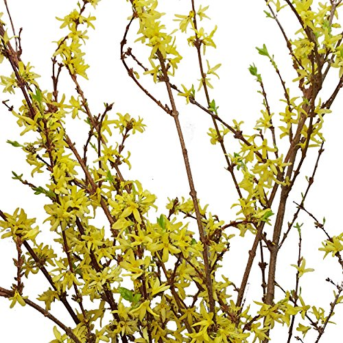 Farm Fresh Natural Forsythia - Pack 40 by Bloomingmore