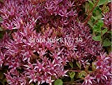 Home Garden Plant 120 Seeds Red Creeping Hylotelephium Erythrostictum ACRE SEDUM STONECROP Red MOSS Flower Seeds
