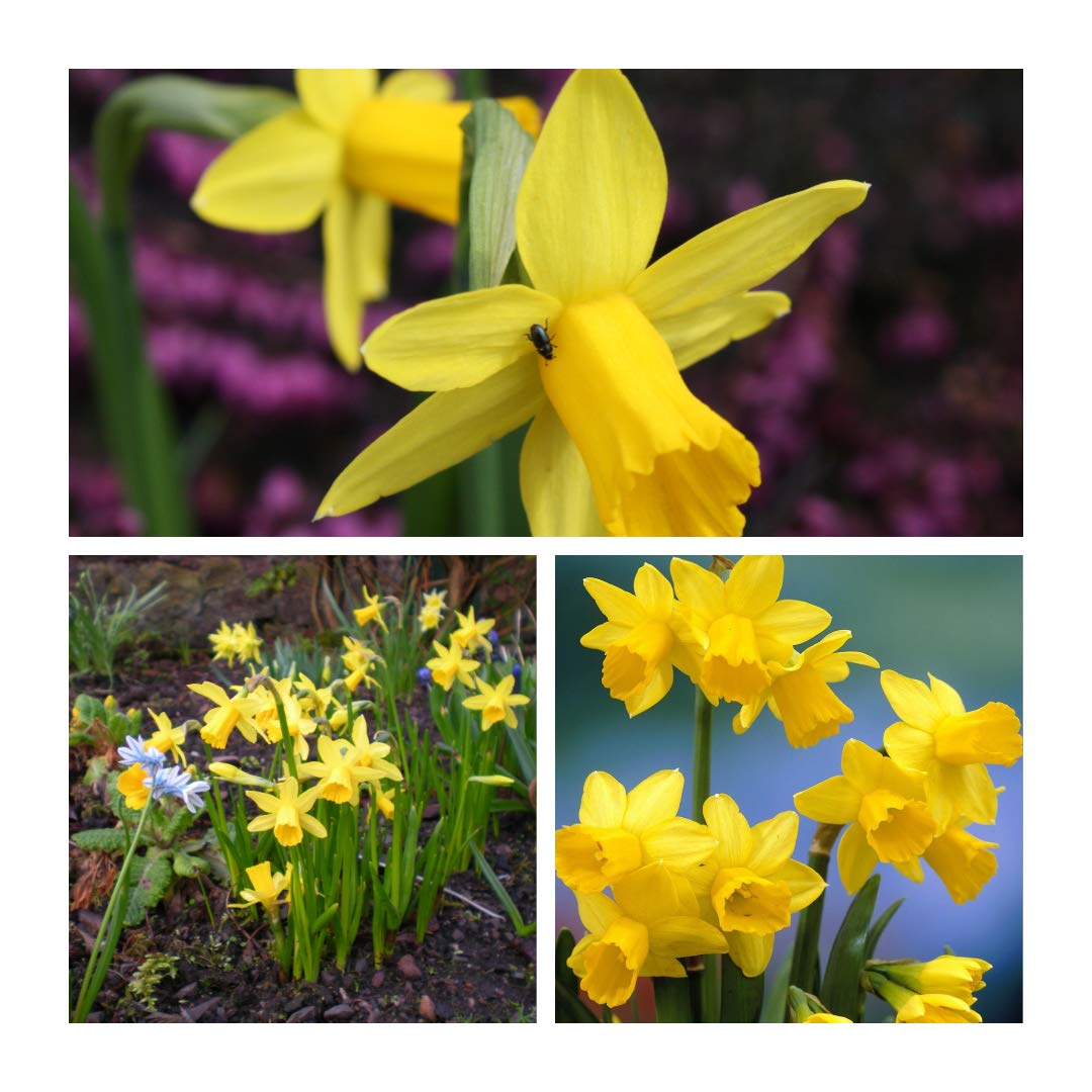 Humphreys Garden® Narcissus Tete a Tete x 50 Bulbs Size 8/10