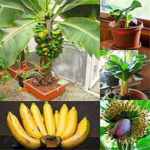 GETSO 100//200 PC Dwarf Bananen-Baum Bonsai Obst Pflanzen Sehr selten Mini Au/ßen Perennial Bl/ütenpflanzen F/ür Hausgarten Seedplants