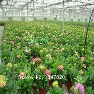 Nueva AAA 2015 Bonsai Semillas de hortensia 100 piezas 10kinds mezclan las semillas de flor de la planta de la novela Jardín envío libre rosa claro Verde claro