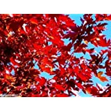 MAPLE TREE SUGAR 25 SEED CANADA ACER GROW FAST ÉRABLE SUCRE COMBINE SHIP + GIFT