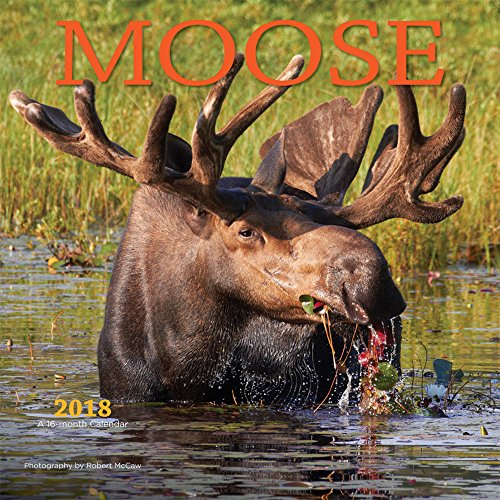 Moose 2018 12 x 12 Inch Monthly Square Wall Calendar by Wyman, Wildlife Animals Hunting Moose Calendar