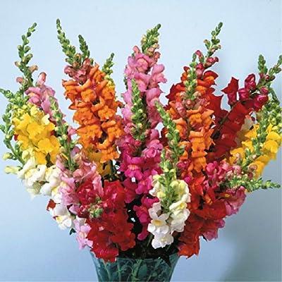 TheSeedsMaster Antirrhinum Majus L. Common Snapdragon 'Rainbow' Flowers, 1, 500 Seeds : Garden & Outdoor