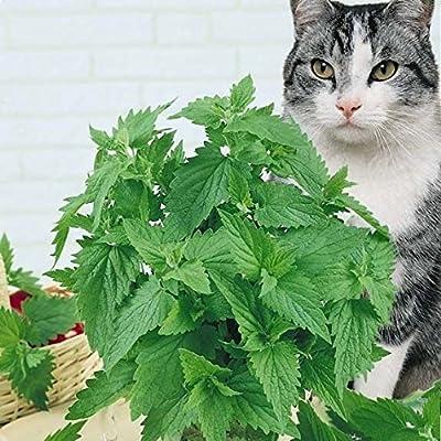 Seeds Herb Lemon Catnip Russian Heirloom Herb Seed : Garden & Outdoor