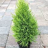 4 Year PLANT of Cupressus Macrocarpa Wilma Goldcrest