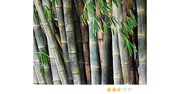 Dendrocalamus asper Posted from within Australia 100 seeds Black asper bamboo