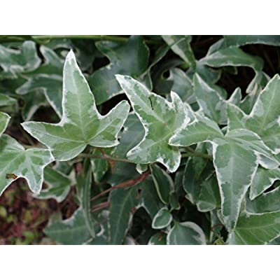 6 Live Rooted Plants White Green Glacier Ivy Hedera Helix Variegated English Ivy : Garden & Outdoor